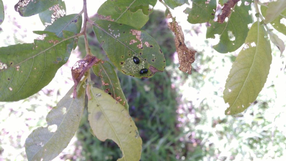 Escaravello alimentandoe dun salgueiro (Salix caprea L.)