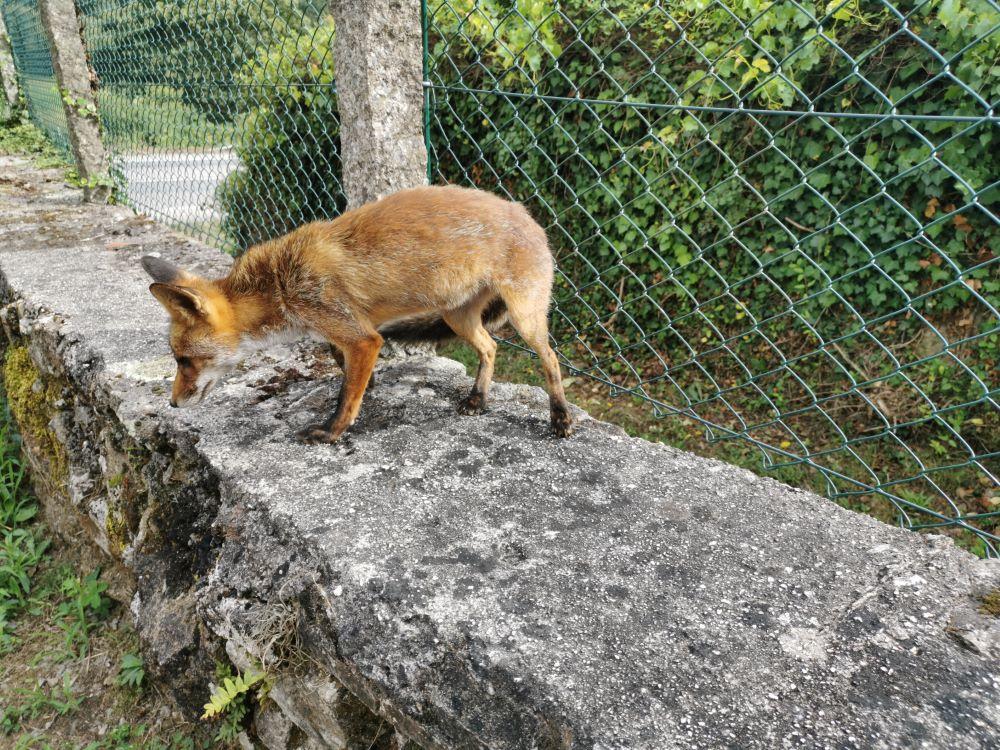 Raposo nunha das suas frecuentes visitas a un veciño de Bora