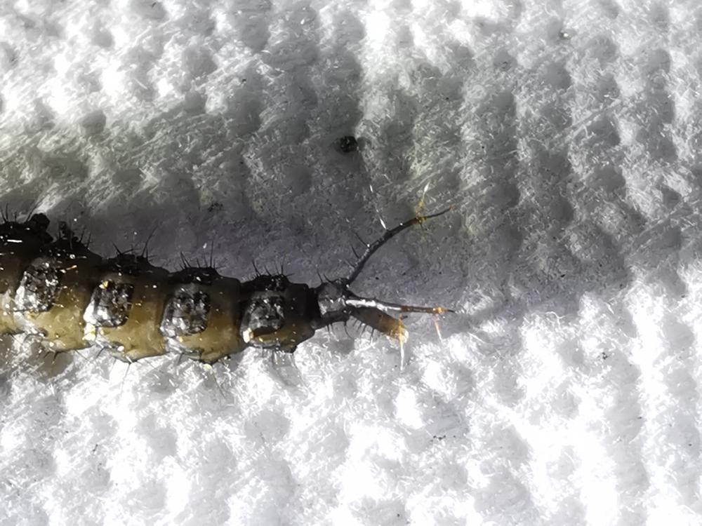Larva Ocypus olens