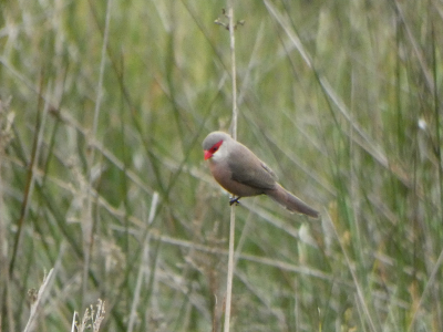 Macaón - Papilio machaon