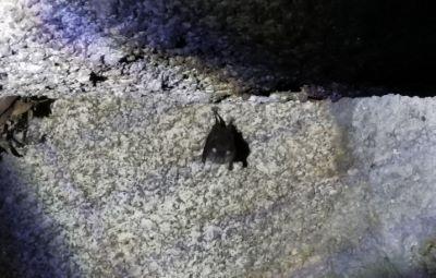 Morcego - Pipistrellus pipistrellus
