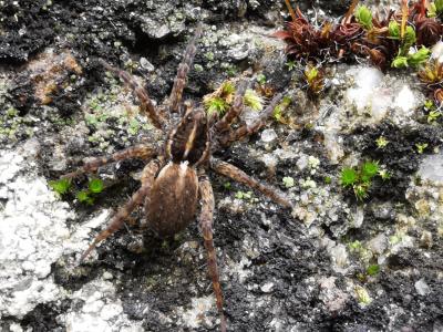 Araña lobo de liña amarela - Arctosa fulvolineata