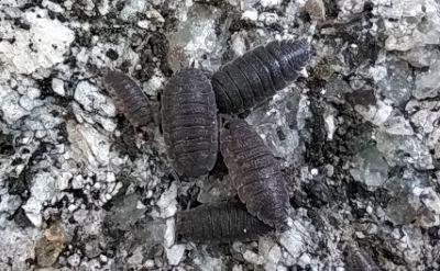 Cochinilla da humidade - Armadillidium vulgare