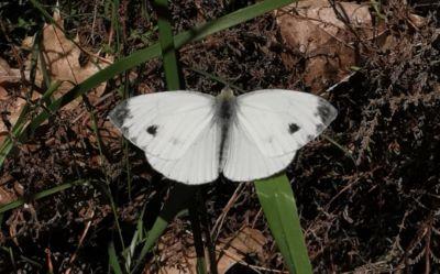 Mariposa blanca - Euchloe crameri