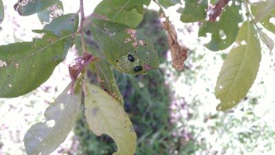 Escaravello do salgueiro - Plagiodera versicolora