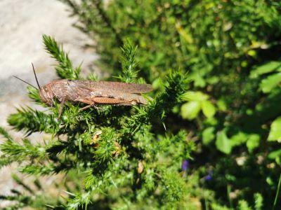 legumia migratoria - Locusta migratoria