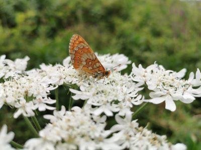 Mariposa Boloria - Boloria