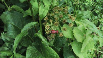 Chinche raiada  - Graphosoma lineatum
