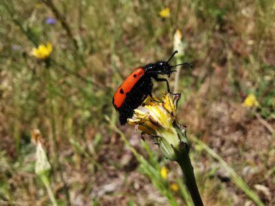 Escaravello meloideo - mylabris quadripunctata