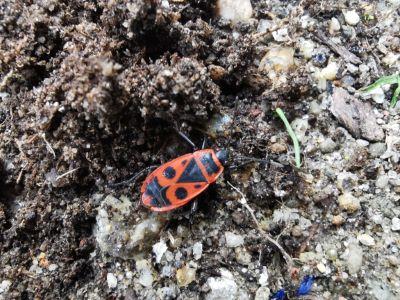 Chinche da malva arbórea - Pyrrhocoris apterus