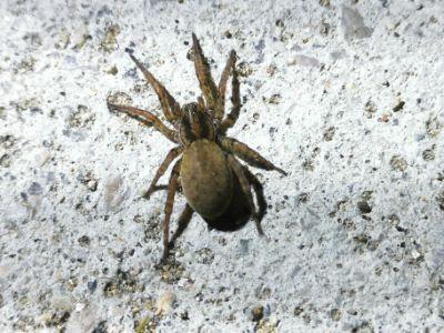 Araña granxeira - Arctosa villica