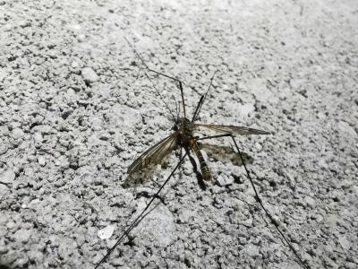 Pernilongo - Tipula maxima