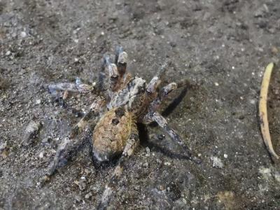 Falsa araña lobo espiñenta - Zoropsis spinimana