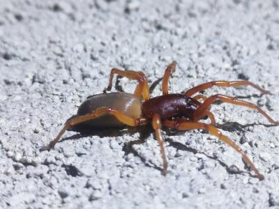 Araña cazadora - Dysdera crocata