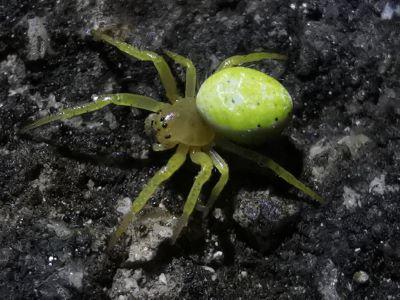 Tecedeira verde - Araniella cucurbitina