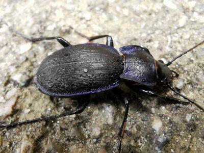 Cárabo violáceo - Carabus violaceus