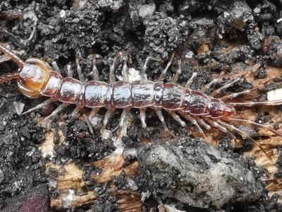 Cempés bandeado - Lithobius variegatus
