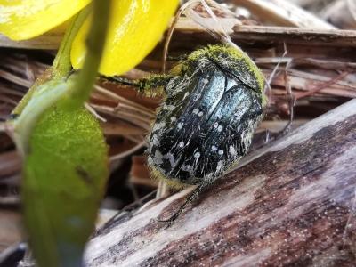 Escaravello dos pampillos - Tropinota hirta