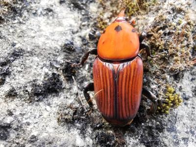 Picudo rojo - Rhynchophorus ferrugineus