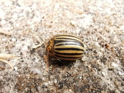 Escaravello da pataca - Leptinotarsa decemlineata