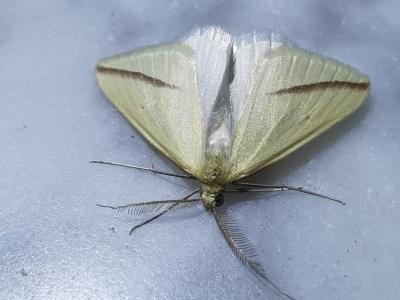 Bolboreta vestal - Rhodometra sacraria