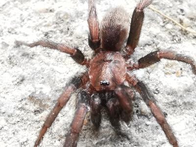 Buraqueira - Nemesia sp