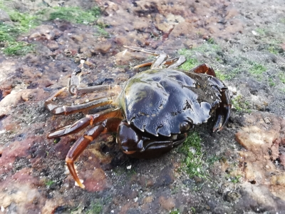 Cangrejo de mar - Carcinus maenas