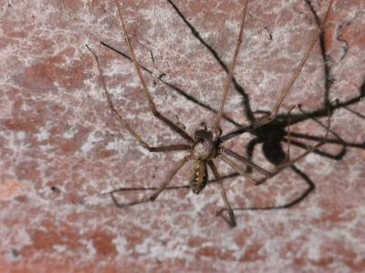 Araña gigante doméstica - Eratigena atrica
