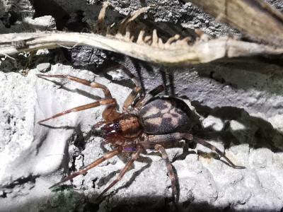 Araña del follaje - Liocranum rupicola (Walckenaer, 1830)