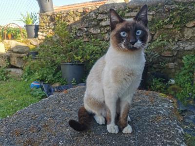 Gato doméstico - Felis silvestris catus