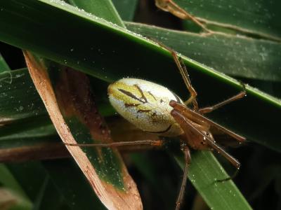 Araña estirada  - Tetragnatha extensa (Linnaeus, 1758)