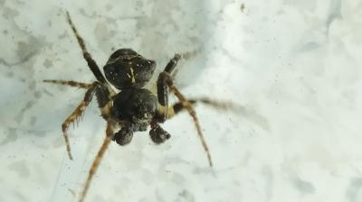 Xibosa bituberculada - Gibbaranea cf bituberculata