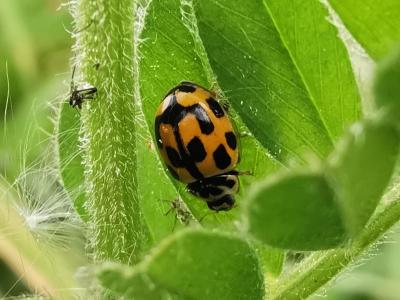 Xoaniña amarela - Propylea quatuordecimpunctata