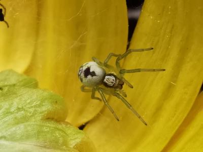Araña cribelada  - Nigma puella (Simon, 1870)