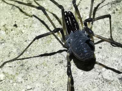 Arañol hispánico - Ischyropsalis hispanica Roewer, 1953