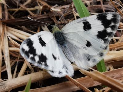 Mariposa blanquiverdosa - Pontia daplidice