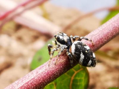 Saltadora galonada - Salticus scenicus