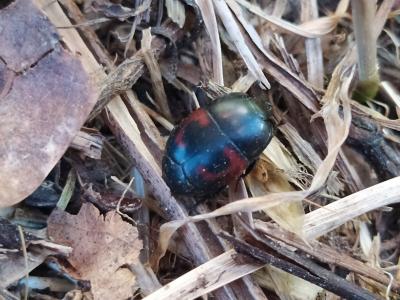 Escaravello de catro pintas - Hister quadrimaculatus (Linnaeus, 1758)