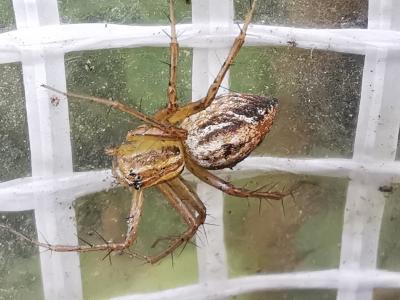Araña lince - Oxyopes sp.