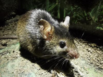 Rato caseiro - Mus musculus