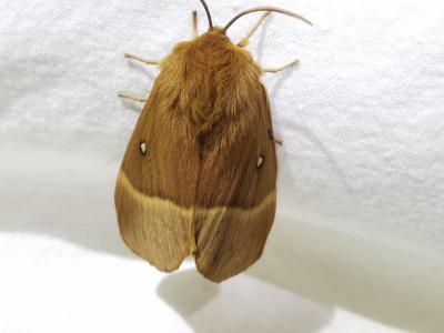 Velairiña do carballo - Lasiocampa quercus (Linnaeus, 1758)