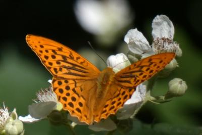 Nacarada - Argynnis paphia
