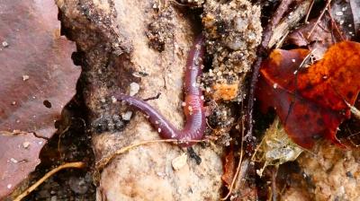 Miñoca - Lumbricus terrestris