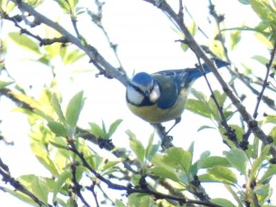 Ferreiriño azul - Cyanistes caeruleus (Linnaeus, 1758)