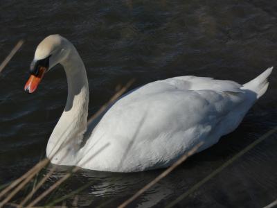 Cisne - Cygnus olor