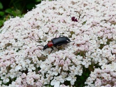 Escaravello de pescozo rubio - Heliotaurus ruficollis