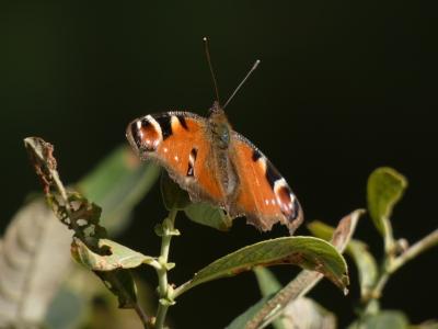 Mariposa pavo real - Aglais io