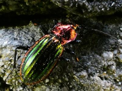 Escaravello auronitens - Carabus auronitens