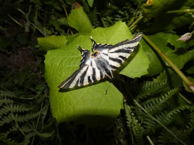 Cola de andoriña - Papilio machaon