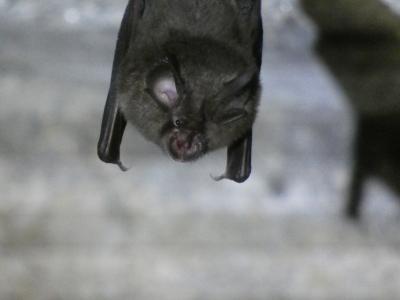 Morcego de ferradura pequeno - Rhinolophus hipposideros